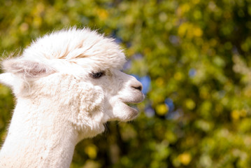 A picture of an alpaca in profile