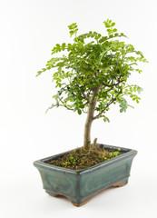 small tree bonsai