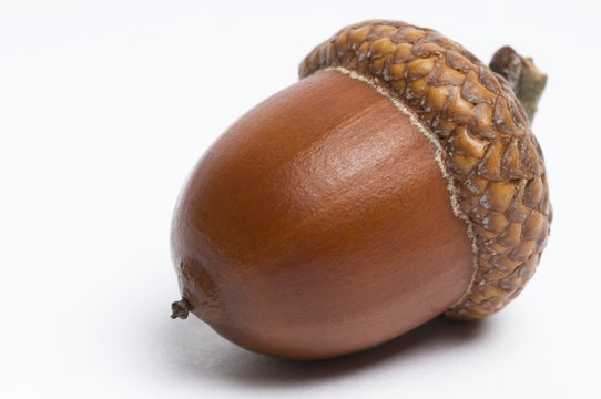 Simple macro image of an acorn isolated on white.