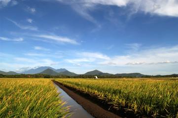 New varieties of rice being grown in Punjab