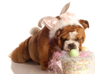 english bulldog dressed up as the easter bunny