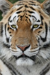 Majestic tiger with green eyes and beautiful fur