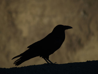 A silhouette of a big crow in Death Valley, California