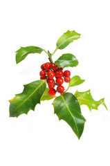 Holly sprig with berries on white