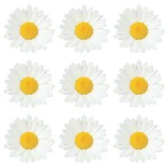 White daisy isolated on white.