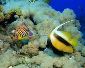 Royal Angelfish and Red Sea Bannerfish