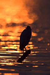 Cattle Egret - Airone Guardabuoi