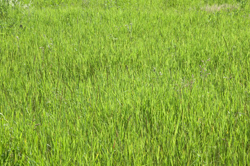 Green grass in a sunny day, texture