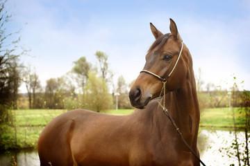 beautiful bay trakhenner stallion