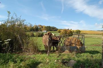 vache et pres