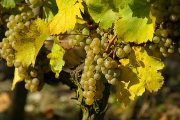 Wein - grape 29