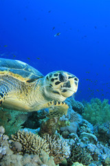 Hawksbill Turtle eating