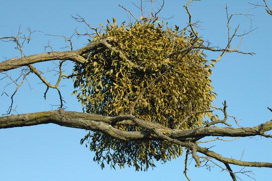 ball of mistletoe growing in a tree