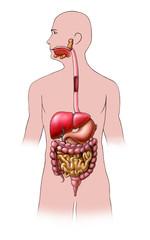 Human digestive system. Digital illustration.