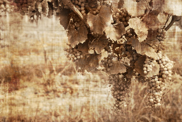 Grunge grapes in the warm tones reminds old ways of vendage