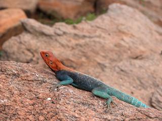 Lizard on the rocks hot sun.