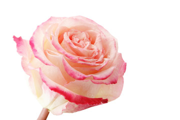 Rose isolated on a white background