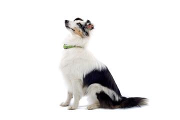 shetland sheepdog isolated on white