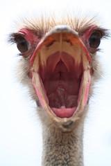 Fotobehang Struisvogel struzzo