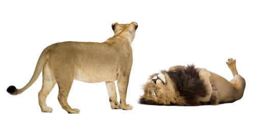 Lion and lioness in front of a white background