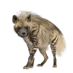Foto auf Leinwand Hyane Striped Hyena in front of a white background