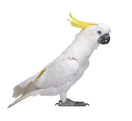 Sulphur-crested Cockatoo in front of a white background