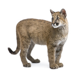 Poster Puma Puma cub - Puma concolor in front of a white background
