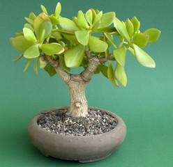 Crassula ovata - Geldbaum - Pfennigbaum