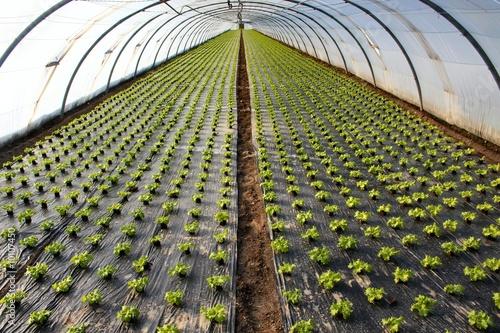 plantation de salades sous serre photo libre de droits sur la banque d 39 images. Black Bedroom Furniture Sets. Home Design Ideas