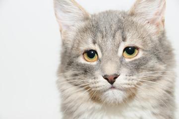 close up portrait gray cat