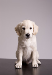 Baby Golden Retriever Portrait - Isolated over grey background
