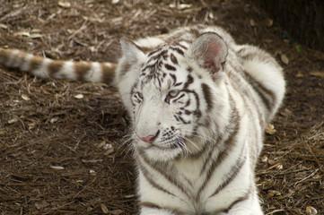 Close up of Amur Tiger cub (Panthera tigris altaica)