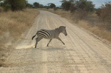 Foto op Canvas Zebra A zebra crossing the dirt road, Tanzania