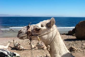 camel near sea