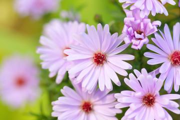 Garden pink flowers