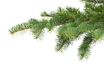 Fir tree branch on a white background.