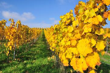 Autumn vineyard, The Rhine valley, Germany
