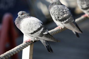 Pigeon Paris