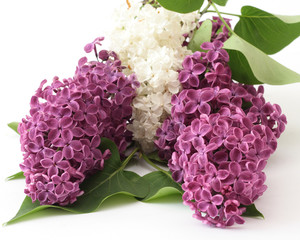 On a photo violet flowers of lilac
