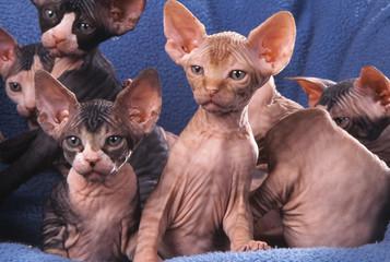 portée de chatons nus de race sphynx