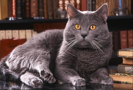 chat des chartreux dans bibliotheque