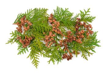 thuja evergreen coniferous decorative curative medicinal