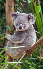 A koala sitting on a branch and looking at the photographer.