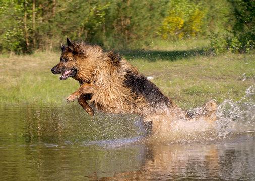 Schaeferhund im Wasser