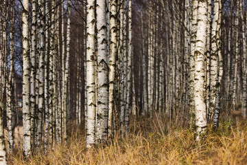Spoed Foto op Canvas Berkbosje Betula's forest in autumn