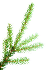 green fir branches with space for your text isolated