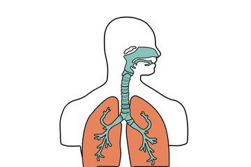 Trachea, Lungs