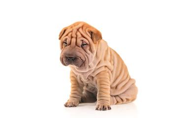 Sad little sharpei puppy isolated against white background