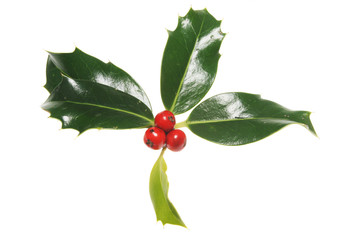 Holly leaves with three red berries