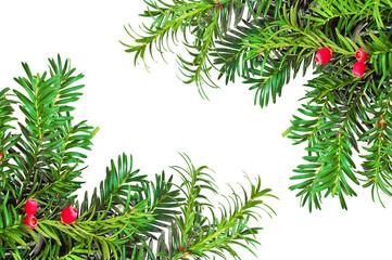 pine branch white background
